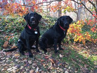 Labrador Retrievers — Pippin (left) and Fuji (right)