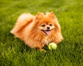 Cases Of Fanconi Like Syndrome Still Occurring In Dogs News Vin