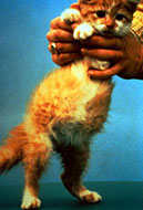 Classic sign of wet feline infectious periotontis