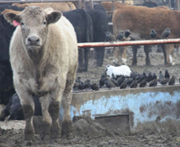 AVMA cattle slider